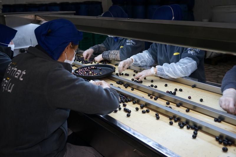 Balıkesir'de zeytin üreticilerinin