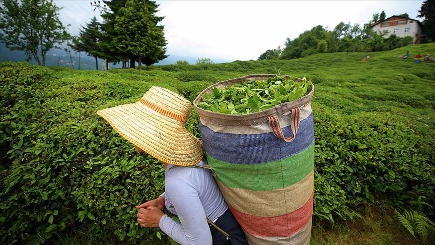Türkiye'nin çay ihracatının yüzde 50'sine yakını Rize'den
