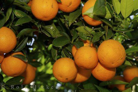 Antalya'da Valensiya portakalının hasadı yapılıyor