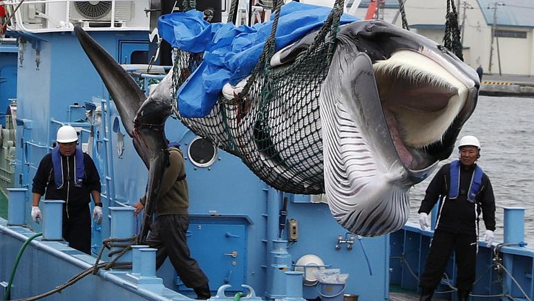 Japonya'da kıyı balina avcılığı sezonu başladı