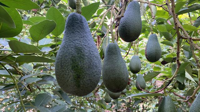 Türkiye'nin avokado üretimi arttı