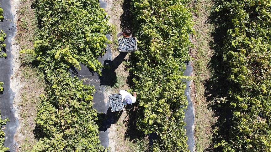 Tescilli 'Cimin' üzümünde kuraklığa rağmen verim kaybı yaşanmadı