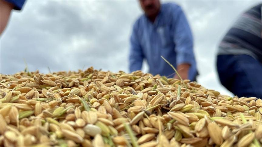 Ata tohumundan yetiştirilen Konuralp pirincinin hasadı başladı