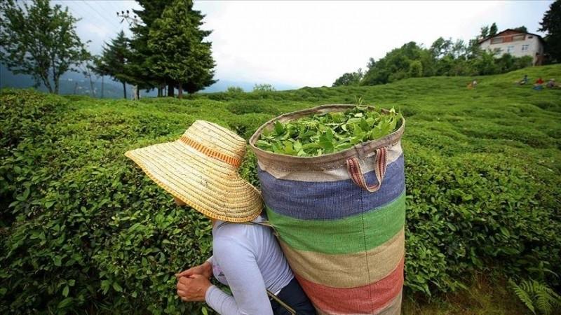ÇAYKUR, en yüksek rakamına ulaşarak yaş çay alımını sonlandırdı