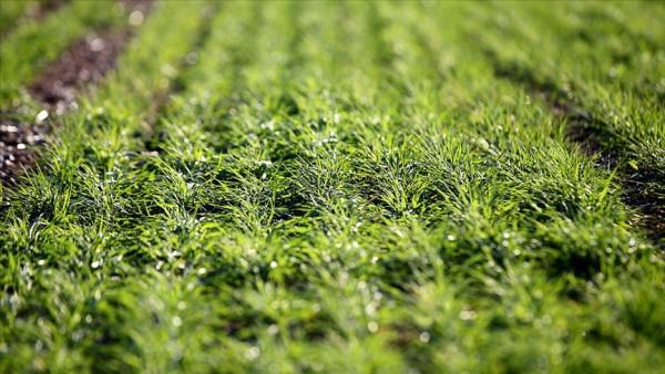 Mart yağmuru buğday üreticisini sevindirdi