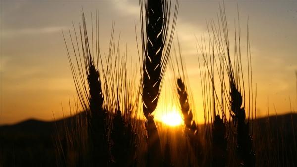 Konya'da çiftçiler hububat alım fiyatlarından memnun